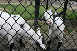 Playful zoo goats