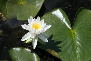 Water lily on Cedar Lake