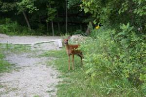 The best photo I got of a fawn, the one that fled to the amphitheater.