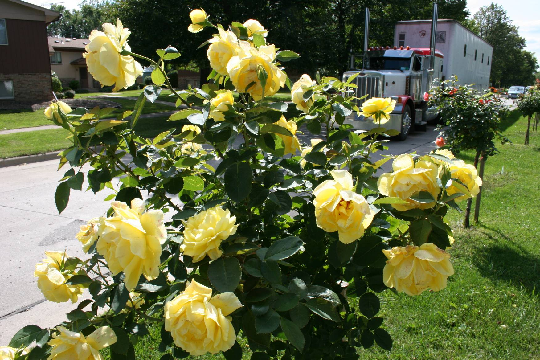 yellow rose bushes types displaying 17 images for yellow rose bushesYellow Rose Bushes Types