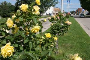Rosebushes stretch for four blocks along Gunderson Boulevard.