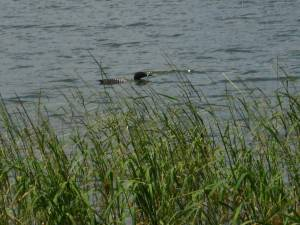 My daughter Miranda photographed this loon in Lake Itasca.