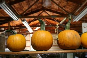 Pumpkin season is just beginning at Twiehoffs. By late fall, wagons will brim with all sizes and shapes of pumpkins.