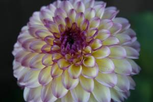 Purple tinged dahlia