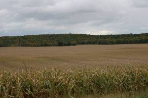 A corn field ripens against a back drop of trees.