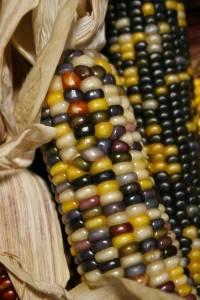 Indian corn at Twiehoff's Gardens