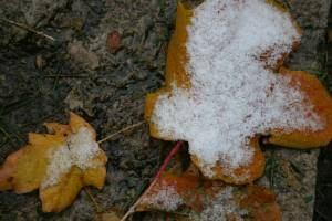 Snow clings to maple leaves in my backyard.
