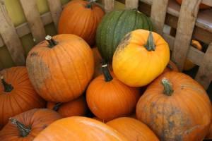 Pumpkins at Trump's Orchard