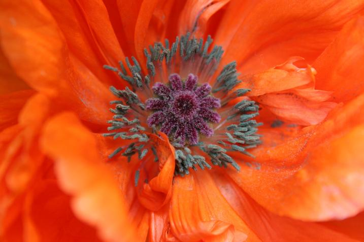 Poppies have long been associated with honoring and remembering veterans. I photographed this poppy in my neighbor, Cheri's, yard this past summer.