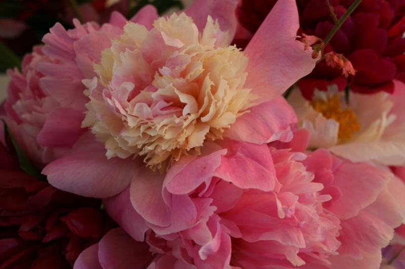 Virgil and Jane's peonies