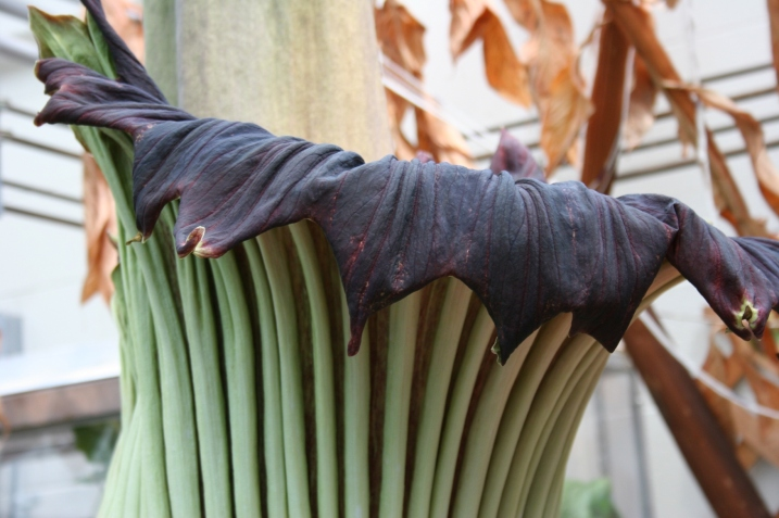 A close-up of Perry's unfolding spathe, an outer purple vase-like sheath.