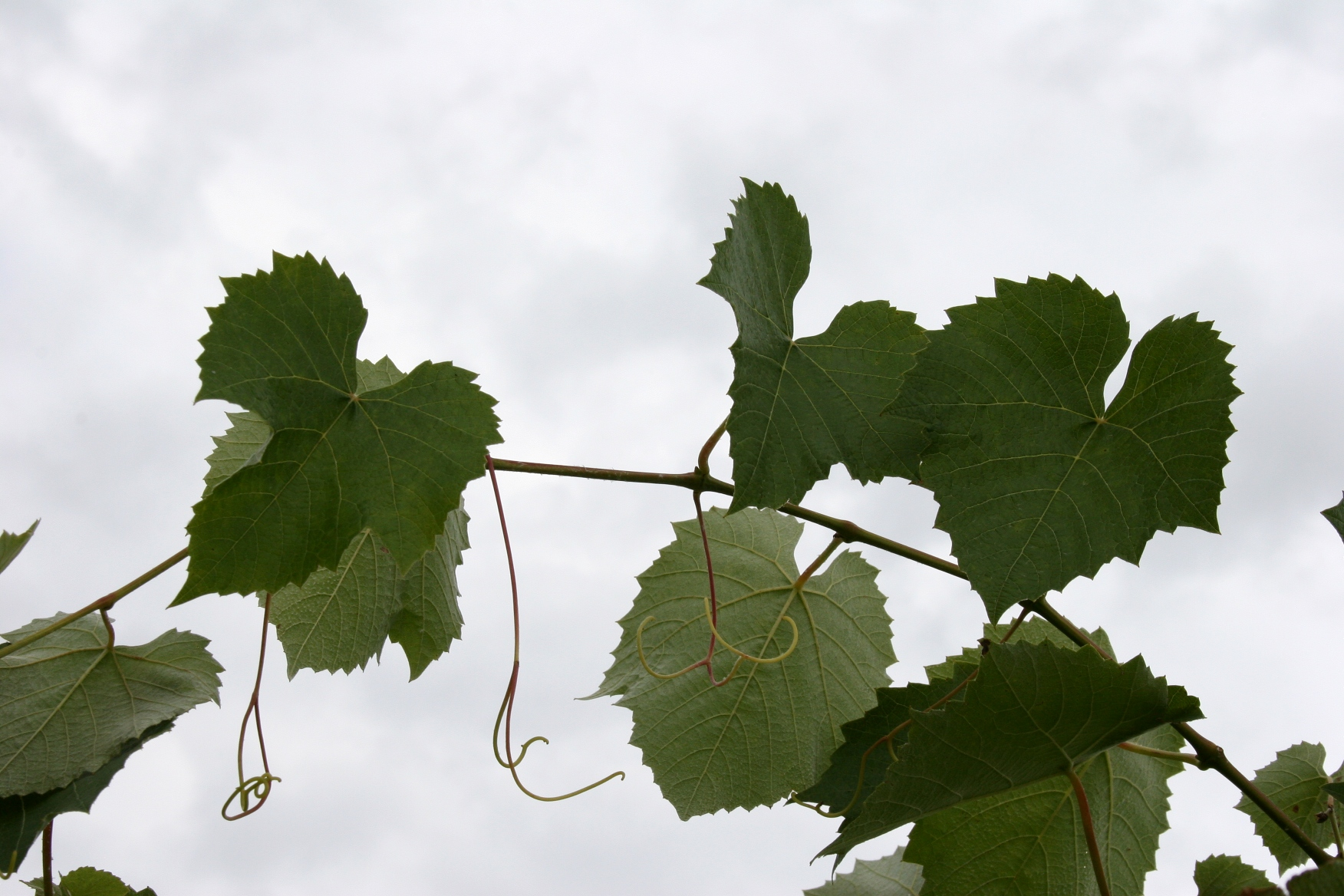 Frontenac Rose | Minnesota Prairie Roots