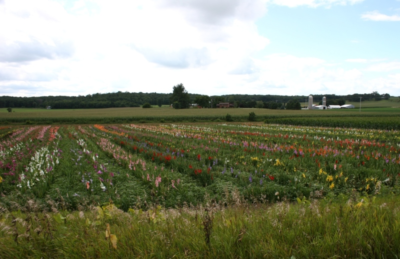A view of the gladiolus field just south of Utica along Winona County Road 33.
