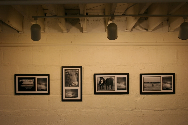 Several of Kay's images focus on cattle, enhancing the exhibit's rural theme.