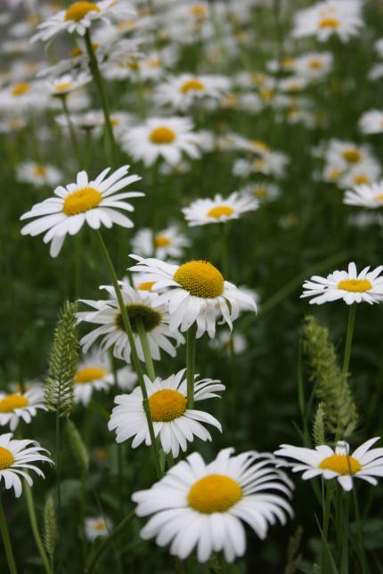 Today I choose to see the beauty of white in daisies, one of my favorite flowers.