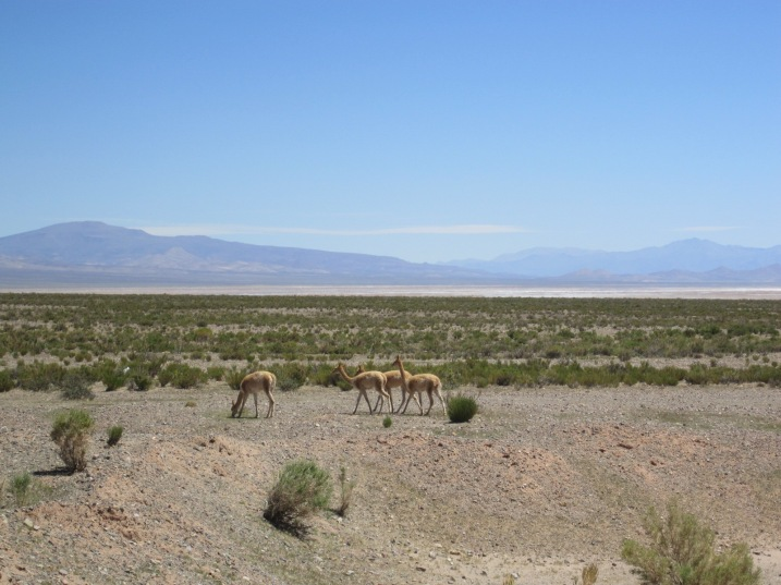 A herd of vicunas, Jujuy province.