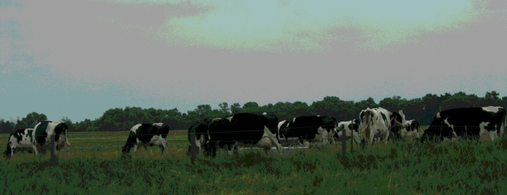 I grew up on a dairy and crop farm, so I know cows well enough to write about them in my poetry.