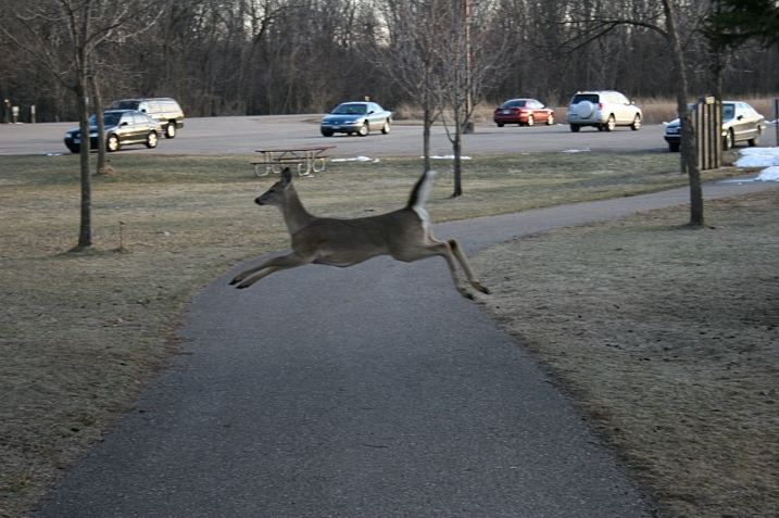 Leaping across a path near the nature center parking lot.