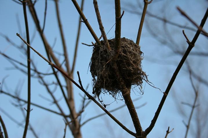 Last year's nest...