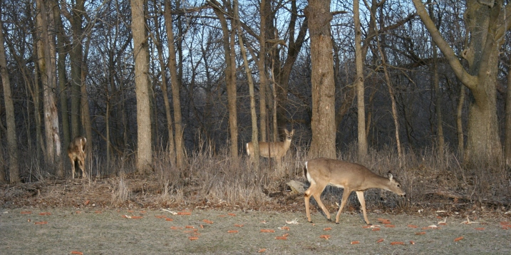 Deer cluster in the woods at Riverbend Nature Center, Faribault.