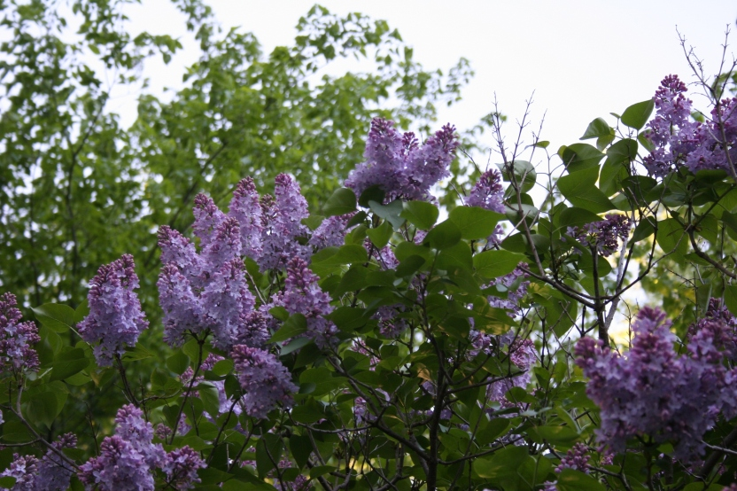 Plenty of lilacs to gather in the spring.