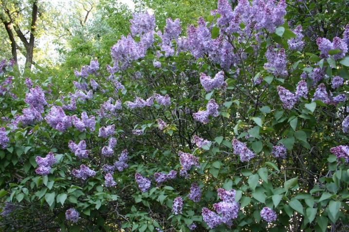 Lilac, 5 - Copy