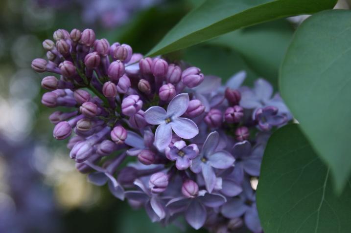 Lilac, close-up