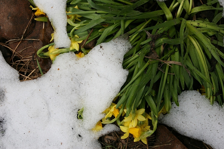 Photographed Saturday afternoon, the seven inches of snow have mostly melted off my daffodils.