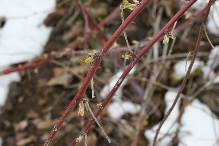 Bendy raspberry branches in bud.