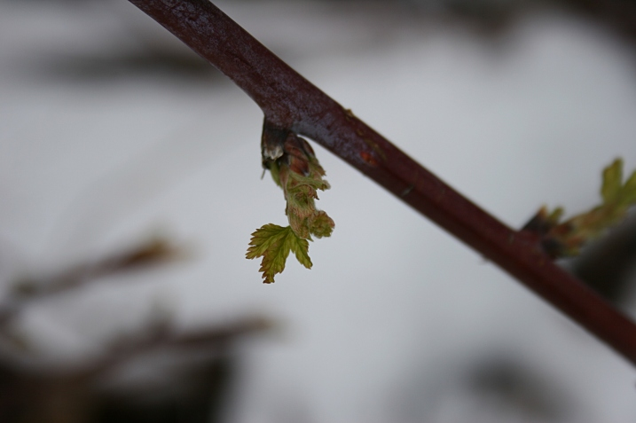 A raspberry bud unfurling.