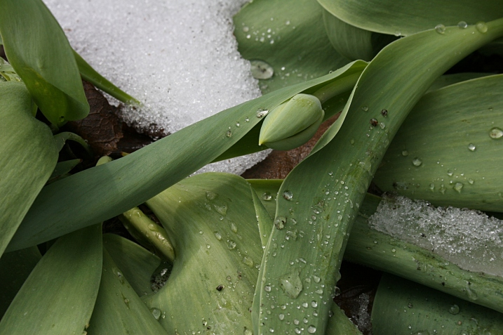 A tulip bud, bent to the snow.