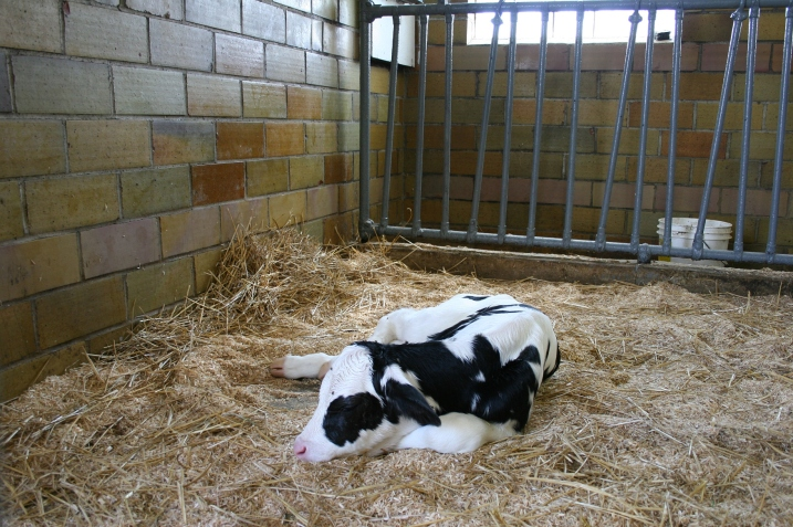 Several calves inside the barn were a hit among visitors.