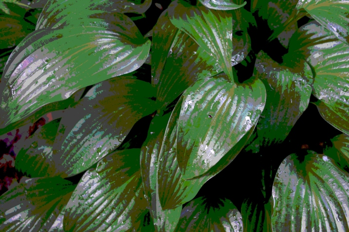 Rain-shined hosta leaves.