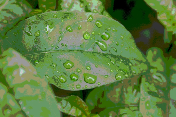 Raindrops on hosta.