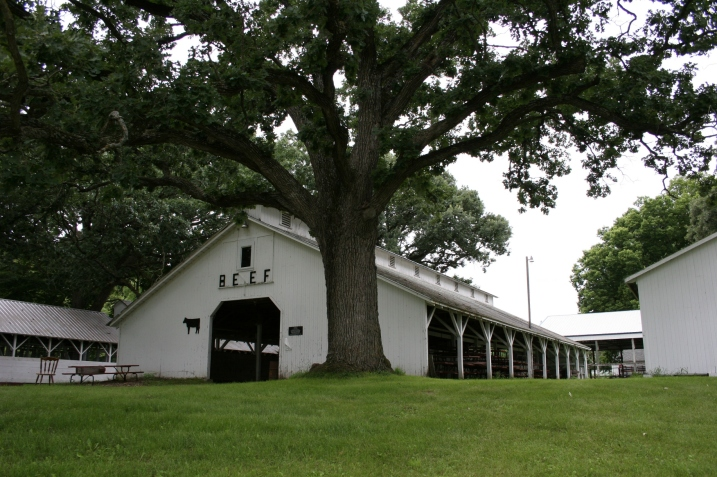 The beef barn, shaded by an oak tree.