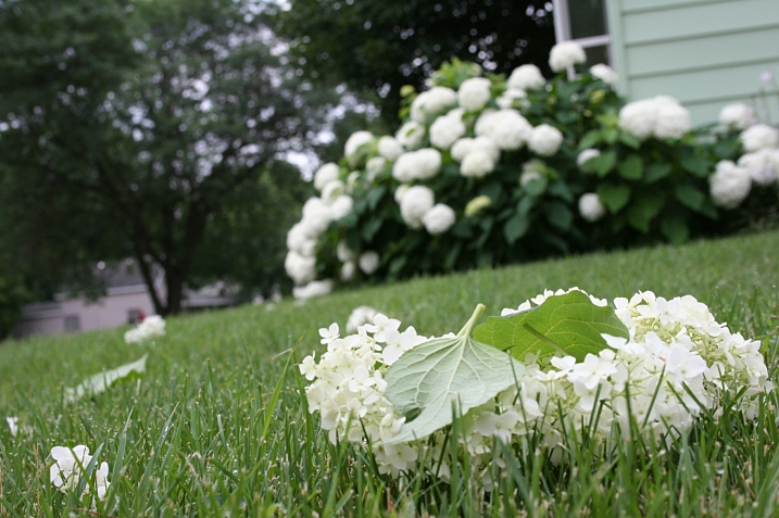 Hydrangea blossoms scattered across my yard in a deliberate act of vandalism.