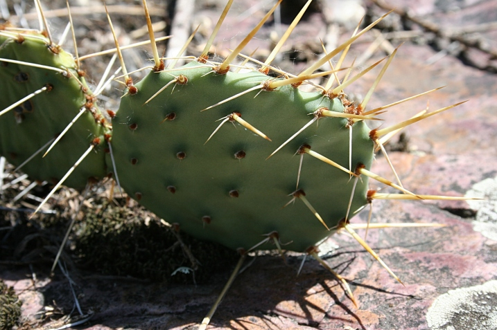 The prickly pear cactus seemingly grows right out of the rock.