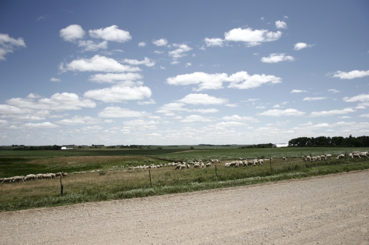 Sheep graze in a pasture near the country church.
