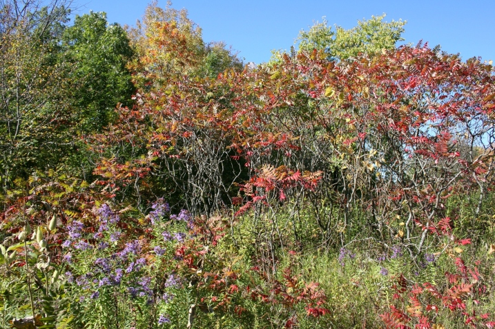 The sumac has already turned color.