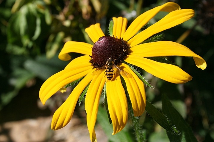 The bees are busy this time of year, here working a black-eyed Susan.
