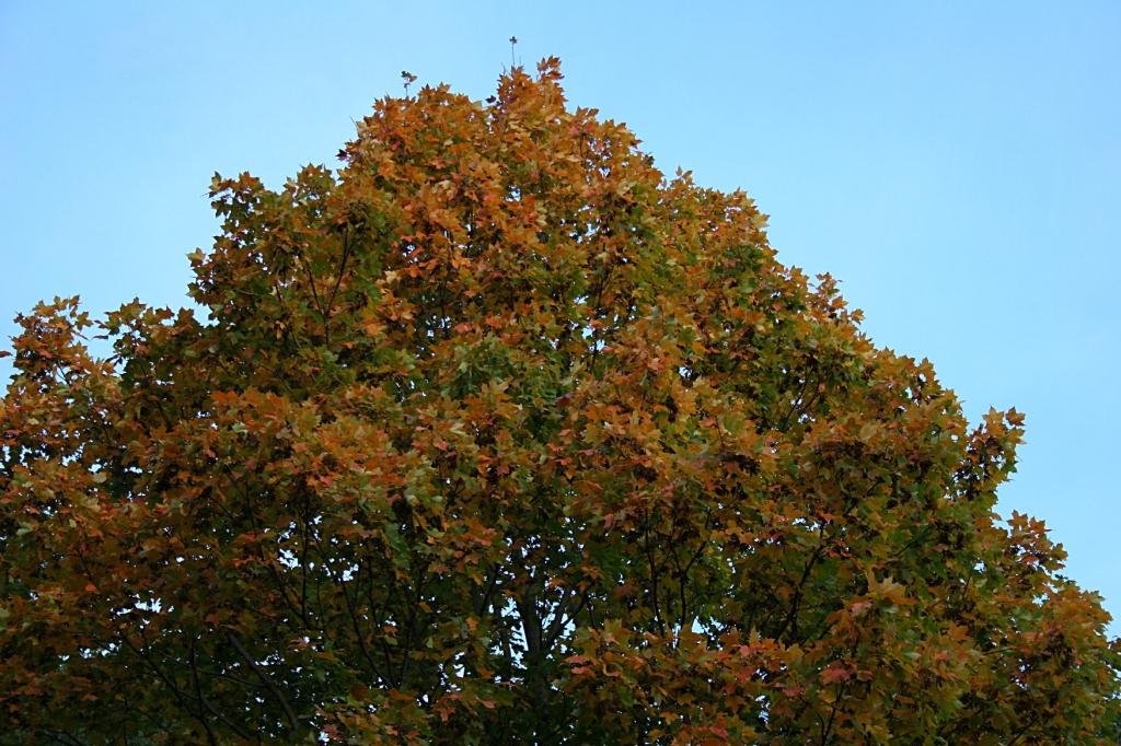 My neighbor's maple tree.