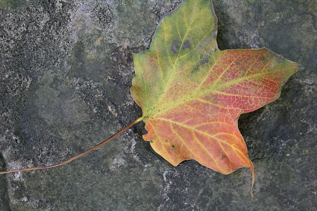 There's nothing prettier than an autumn leaf.