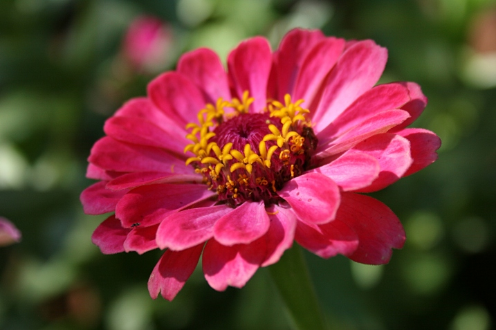 Prolific zinnias are still blooming.