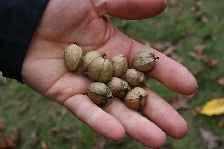 When we discovered what other park visitors were gathering, Randy began harvesting hickory nuts too and stuffing them into his jacket pockets.