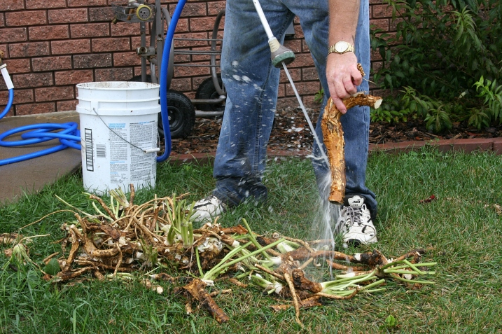 Washing mud and dirt from the horseradish roots with the garden hose is the first step after digging.
