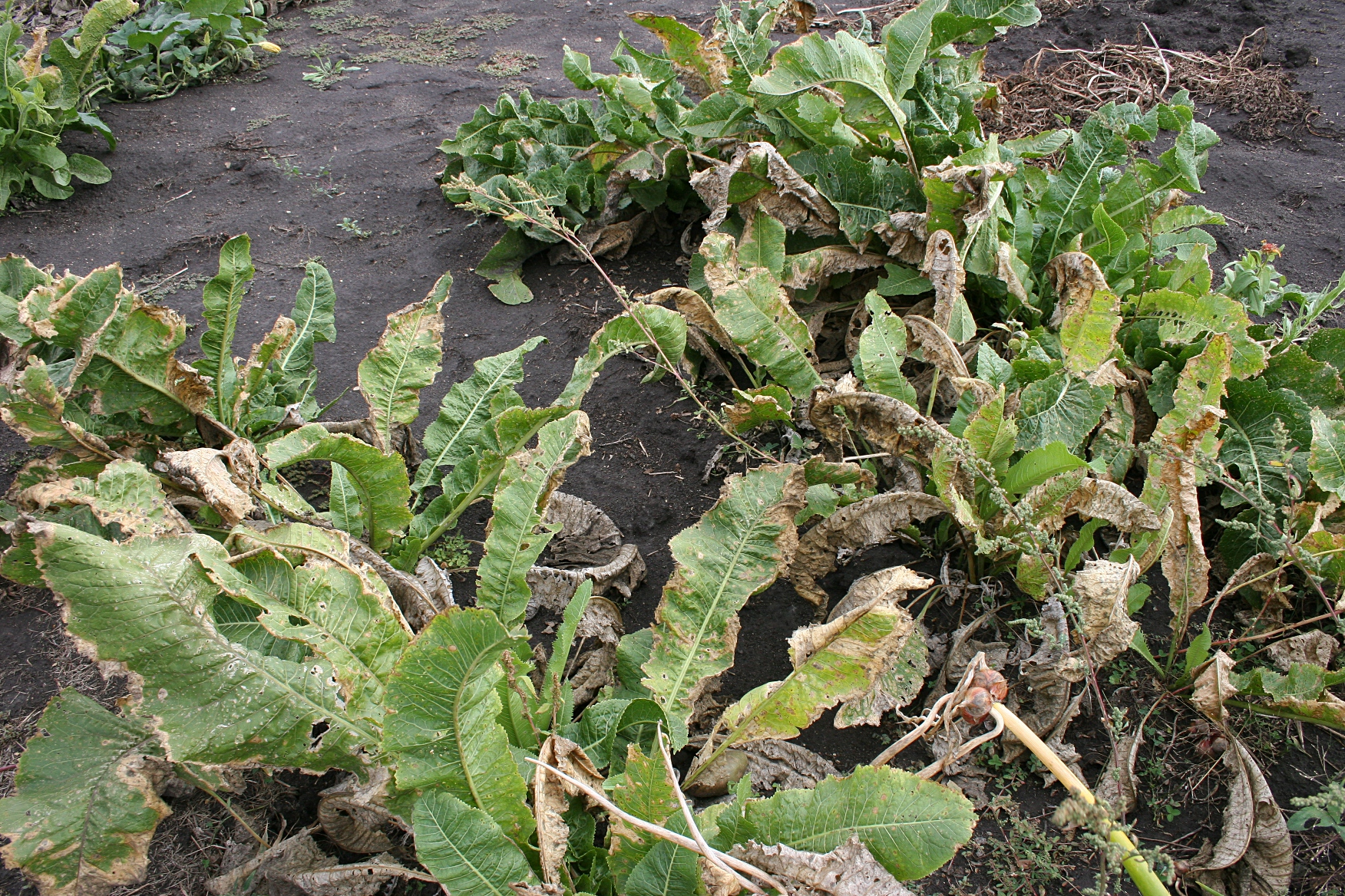 Horseradish minnesota prairie roots for Garden plants