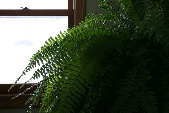 A reminder that, yes, spring will come and this fern will once again grace my backyard.