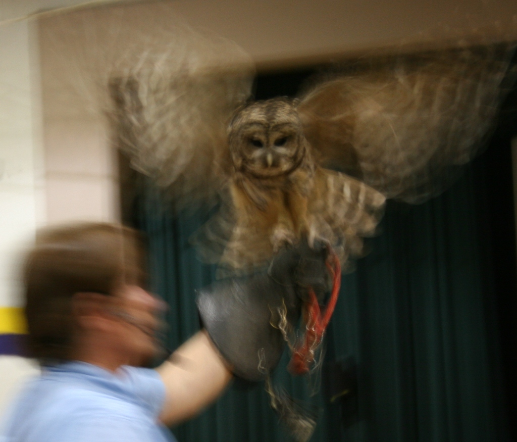 Here an owl flaps its wings. The birds skimmed over our heads during the show.