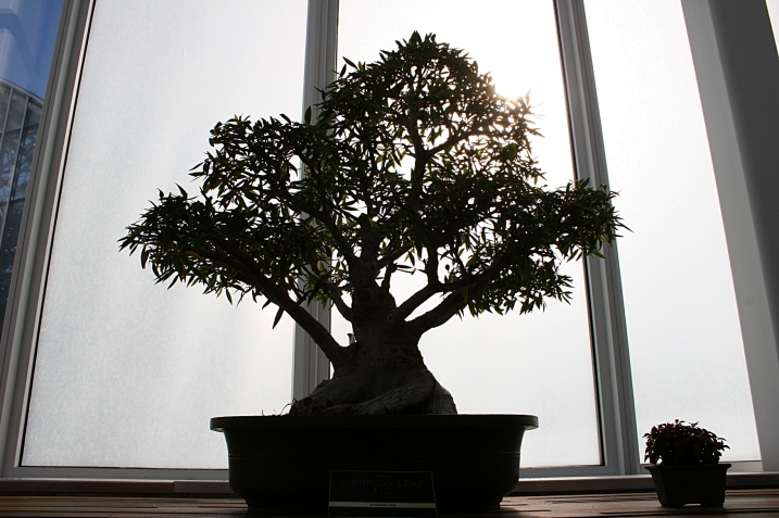 Notice the contrast of a bonsai tree against a steamed window knowing only glass separate the plant from a snowy landscape.