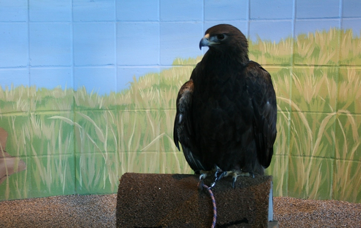Donald, the single resident golden eagle.